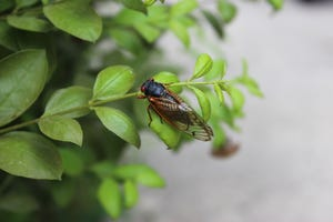 A Brood X Cicada in Bloomington, Ind., in May 2021.
