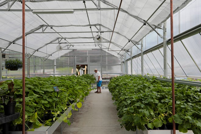 A customer goes through the large assortment of plants for sale inside of the new greenhouse at Lawrence Family Greenhouses on Hathaway Road in New Bedford.