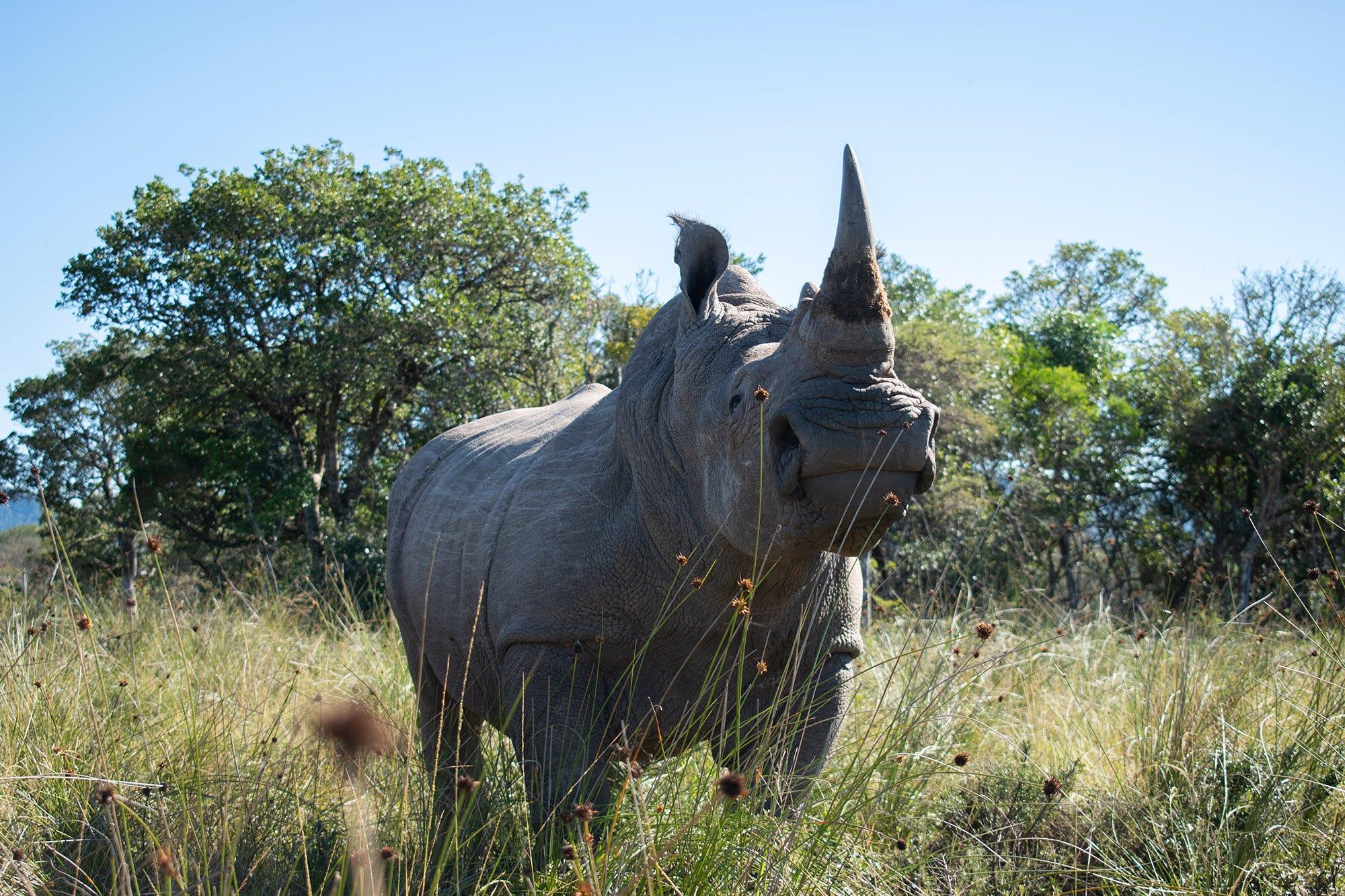 Radioactive rhino horns set to add to anti-poaching arsenal 2