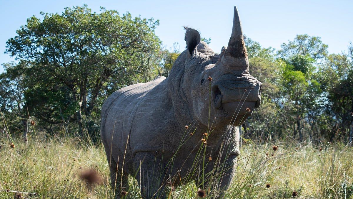 Radioactive rhino horns set to add to anti-poaching arsenal 3