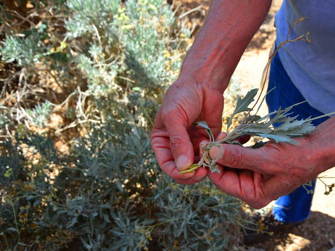 Dave Dierig, a plant breeder and geneticist for Bridgestone's agro operations, pulls back the outer layer of a guayule stalk.  Its sticky inner layer can be processed into tire rubber, among many other uses.