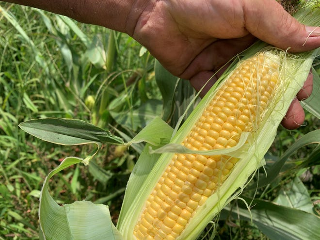 This sweet corn was harvested 70 days after planting. Sweet corn must be harvested promptly to ensure flavor and texture.