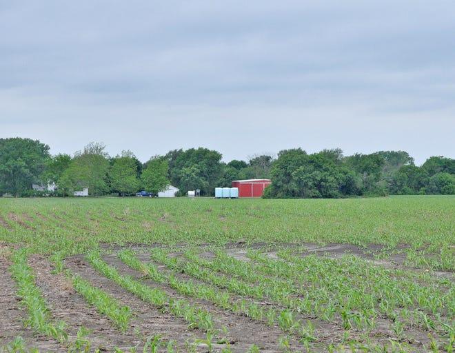 New corn rows