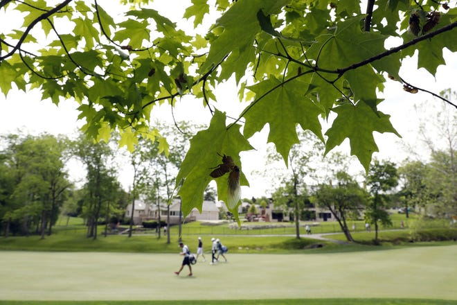 Cicadas hang from a tree at the second fairway as golfers practice at Muirfield Village Golf Club on Tuesday.