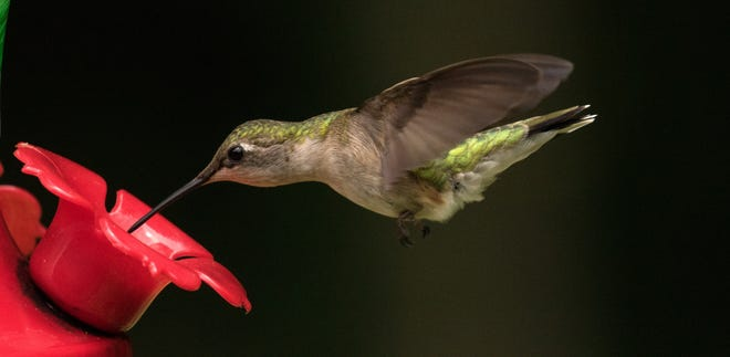 A hummingbird's long beak and tongue help the tiny bird to reach sugary nourishment in feeders, as well as nectar in flowers.