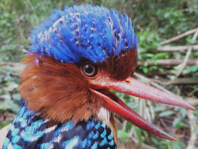 Howie Nielsen, who took this photo of a Banded Kingfisher, will present a talk about the birds of Southeast Asia for the York County Audubon.