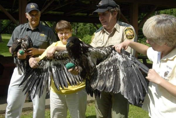 Jan Ferrell (second from left) works with Ohio Division of Wildlife Officer Mark Shieldcastle to band P85, a rescued eagle which became stranded after the nest was destroyed.
