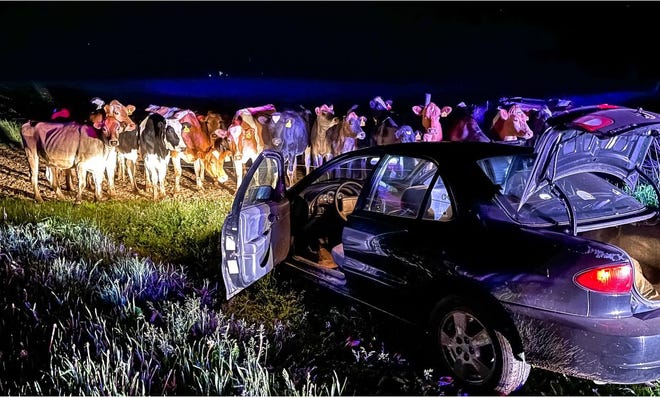 Cows surrounded a vehicle after an about 13-mile chase in Barron County June 1.