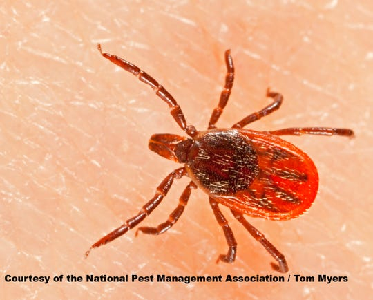 Ticks can transmit multiple diseases to humans, including Lyme disease, anaplasmosis, and babesiosis.