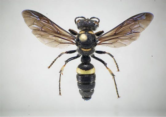Wasps have venom in their stinger that can transmit to humans if they are stung.  Handout photo from National Forest Service (Via MerlinFTP Drop)