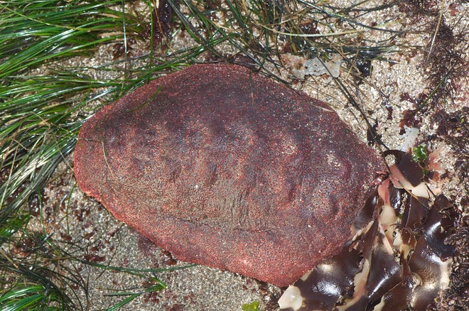 """Researchers at Northwestern University announced the finding of a rare iron mineral in the teeth of a chiton nicknamed the """"wandering meatloaf."""""""