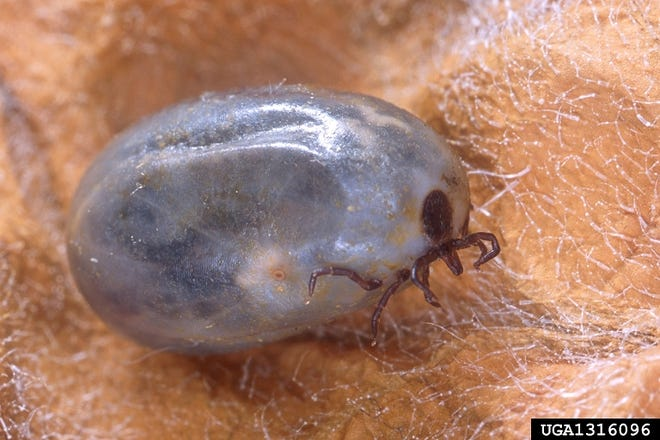 An adult female blacklegged tick is engorged after a blood meal.