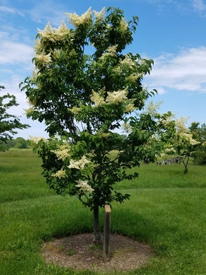 Tree varieties of lilacs can be a stunning addition to any landscape.