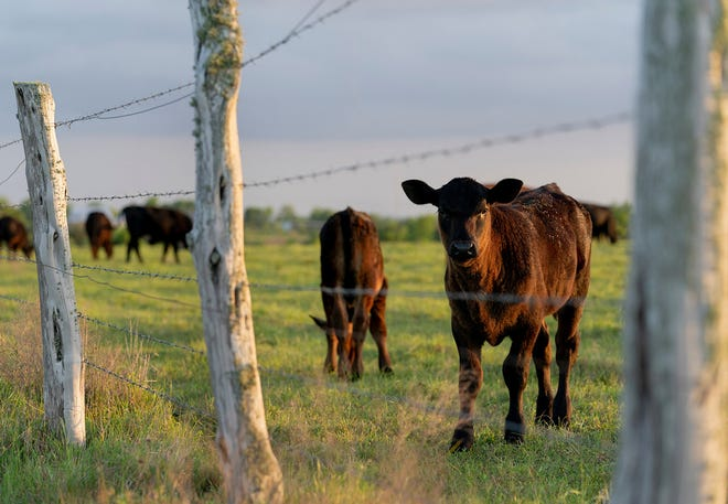 Grass-fed beef will be the topic of a conference June 24-25 in College Station. (Texas A&M AgriLife photo by Laura McKenzie)