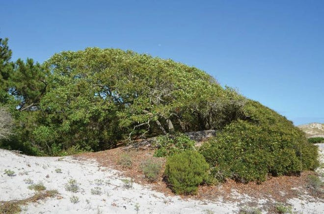 Sand live oak is a tough tree that with proper pruning can be very wind resistant.