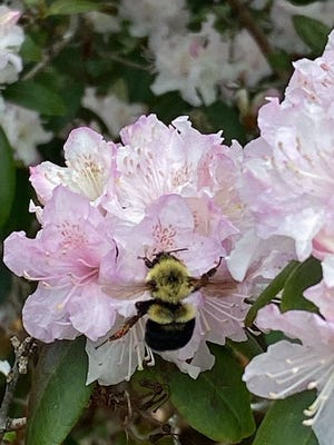 This bee is busy working on the flowers at the Arnold Arboretum.