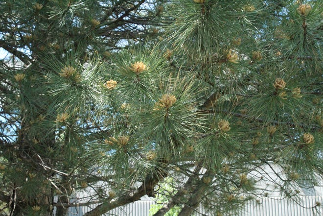 Austrain pine and other long-needle pine trees are likely to be a rare sight in the coming years with the appearance of pine wilt disease