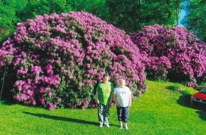 Pamela Fike, left, and her sister, Paulette, stand in front of the two large rhododendron blooming over Memorial Day weekend on their front lawn. The bushes were planted in 1984 and 1985 at the Fike family home along Keysertown Road near the former coal mining patch of Belltown.