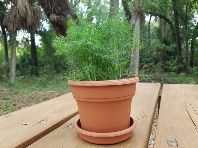 Don't have a big yard for gardening? No worries. Dill grows well in a container.