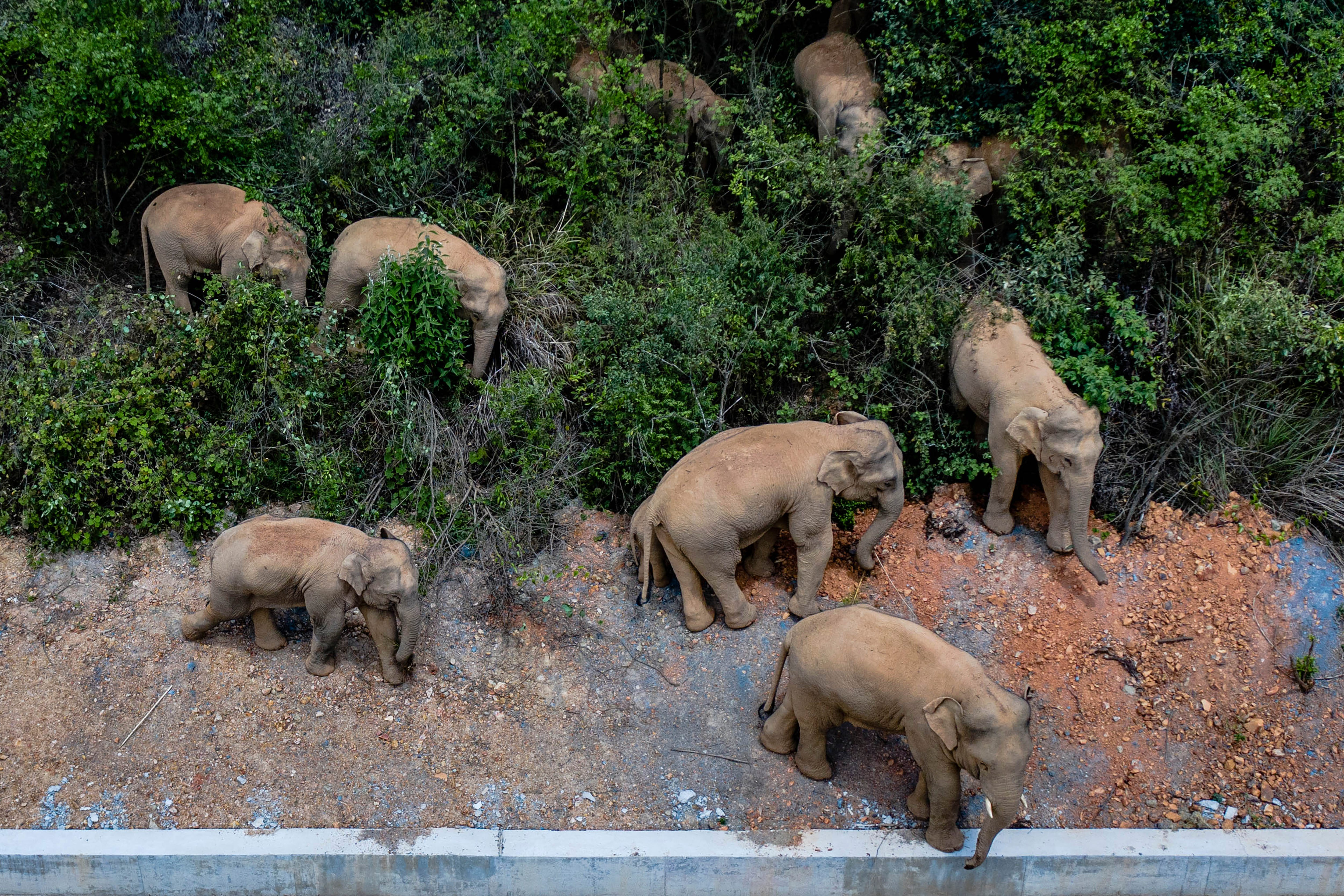 China tries to keep elephant herd out of city of 7 million 2