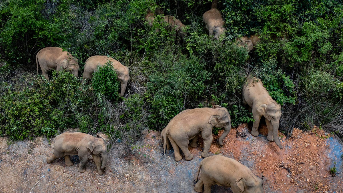 China tries to keep elephant herd out of city of 7 million 3