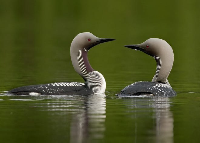 Arctic loons swim on a lake in Sweden. An adult in breeding plumage was observed May 31 near Herbster in Lake Superior, the first documented sighting of the species in Wisconsin history.
