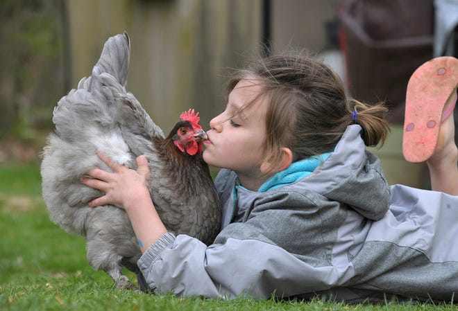 """Presley Dryden Goins, 7, with a Blue Copper Marans chicken named Blueberry at her grandmother's home on April 16 in Aberdeen, Md. Presley's grandmother, Pat Felts, led the charge to change an Aberdeen ordinance to allow chickens, which passed this past summer. """"Chickens make great emotional support animals,"""" said Felts, who owns seven of the birds."""