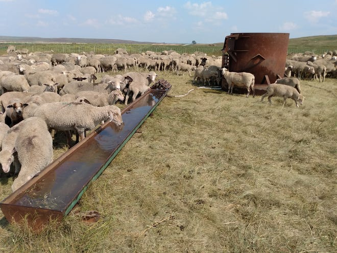 The Permans use this portable water setup for about 800 ewes with 1,200 lambs because their tire tanks are too tall for the lambs to reach.