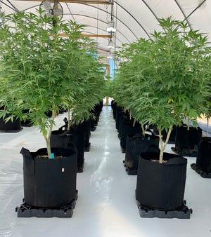 Hemp plants grown at Crystal Coast Farms in Swansboro
