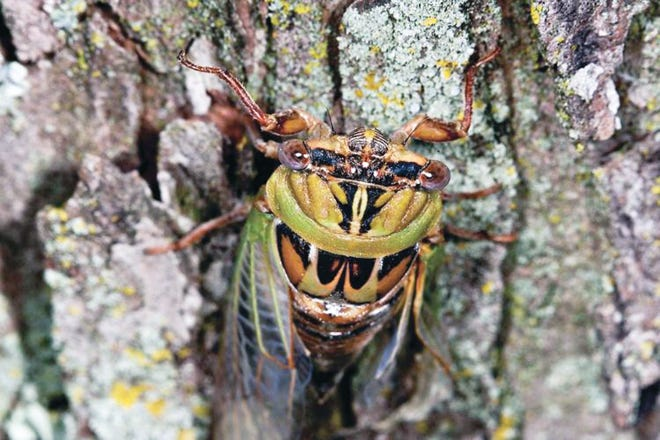 Missouri won't experience periodical cicadas until 2024, but its annual cicadas (pictured) will make their appearance this summer.