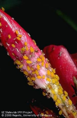 Aphids come in all colors. They can appear white, black, brown, gray, yellow, light green, or even pink!