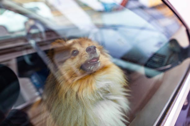 The No. 1 killer of dogs every summeris being left in a hot car.