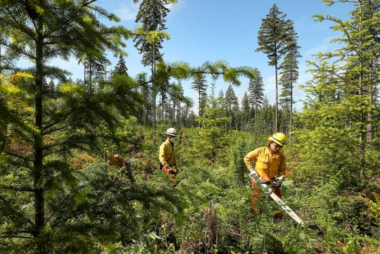Wildlands firefighter Anton Baur, of Grapeview, uses a chainsaw to cut through the undergrowth as he, Chase Boatler and Ethan Brunton work as a team to thin out the undergrowth on an MNR plot of land off Tahuyeh Lake Road Thursday.