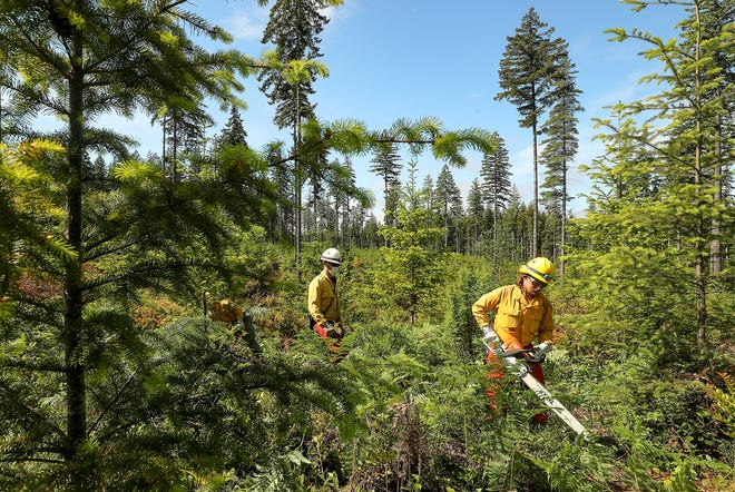 Wildland firefighter Anton Baur, of Grapeview, uses a chainsaw to cut the underbrush as he, Chase Boatler and Ethan Brunton work as a crew thinning the underbrush on a parcel of DNR land off of Tahuyeh Lake Road on Thursday.