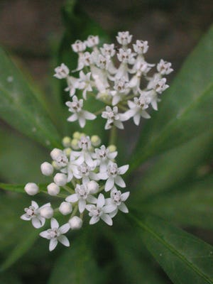 Swamp milkweed is a native species of southern bottomland forests, and it's one of the showiest wildflowers a swamp can offer.