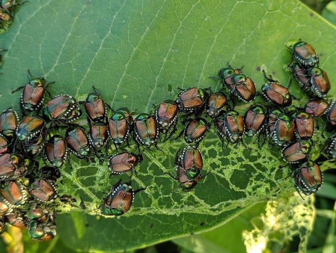 Japanese beetles on a leaf.