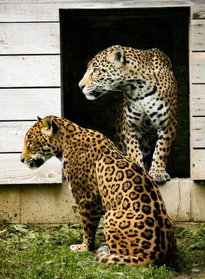 Kaya, a female, twelve-year-old jaguar, top, from the Salisbury Zoo in Maryland was introduced to four-year-old jaguar, Luna, in Cat Canyon on the morning of June 1 at Lee Richardson Zoo.