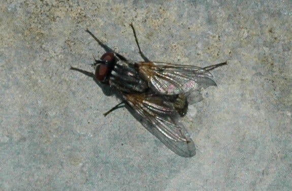 House fly adults are 1/4 to 5/16 inch long. The top part of the thorax is dusty gray and contains four equally broad stripes running from front to back. The fourth wing vein makes a sharp bend to the outside and almost meets the third at the wing tip. Adults have sponging and sucking mouthparts, while larvae have hooks in their mouthparts for tearing.