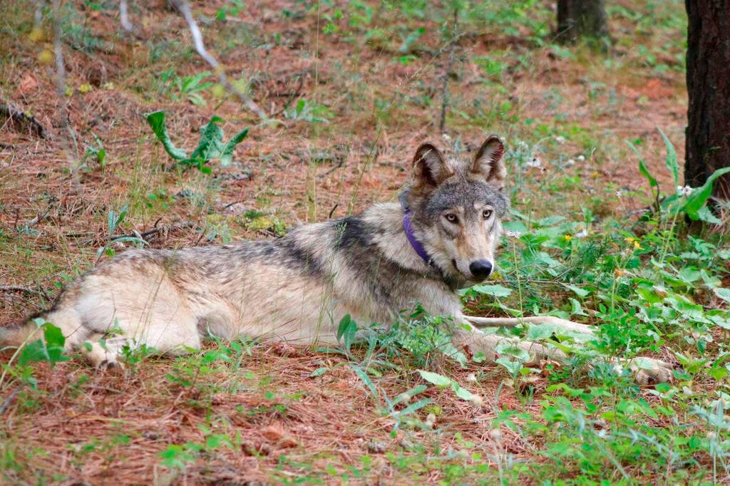 Biden admin targets Trump rollbacks of species protections 2