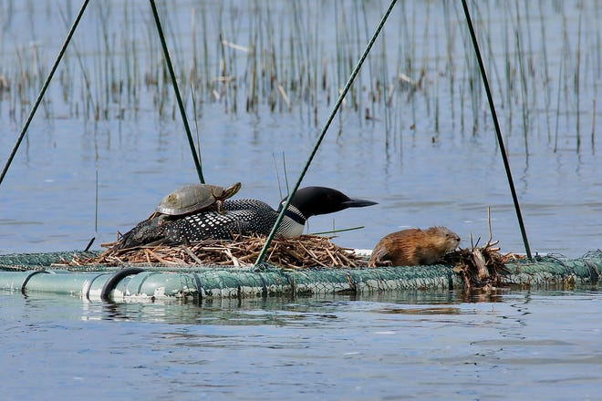 A common loon sits on a nesting platform on a Minnesota lake while a turtle rests on the bird's back and a muskrat sits nearby. The rare scene was captured by Scott Rykken of St. Paul who has a cabin on the lake.