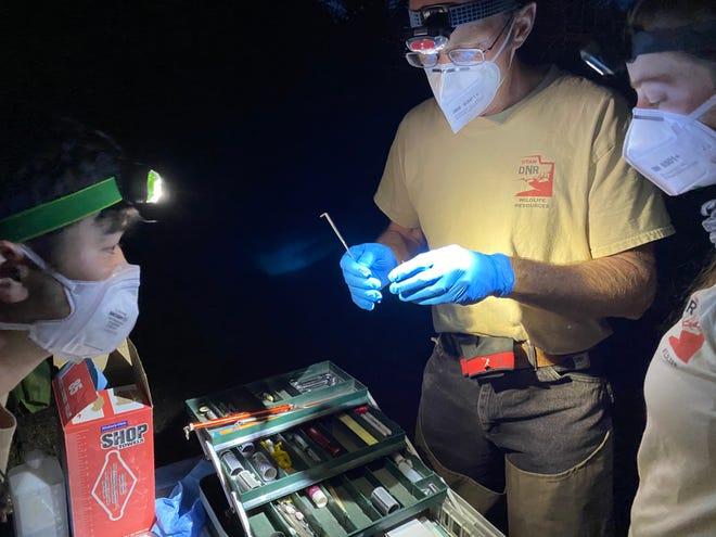 Myotis Bat caught by Utah Division of Natural Resources