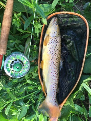 A 16-inch brown trout fell for a Caddis fly.
