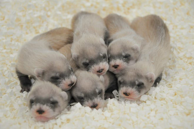 A black-footed ferret named Yoshi gave birth to six kits on May 10, 2021, at the Phoenix Zoo.