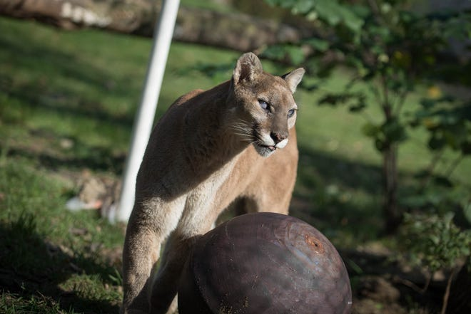 Jessie, a 17-year-old cougar who lived at the Columbus Zoo and Aquarium for nearly all her life, was euthanized Monday morning because of declining health. She was mostly blind.