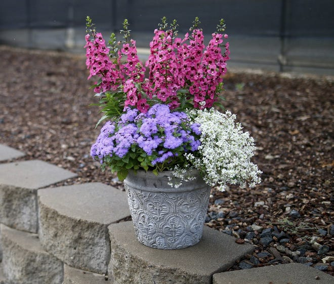 A mixed container features angelonia (pink), Diamond Delight euphorbia (white) and ageratum or floss flower (lavender).