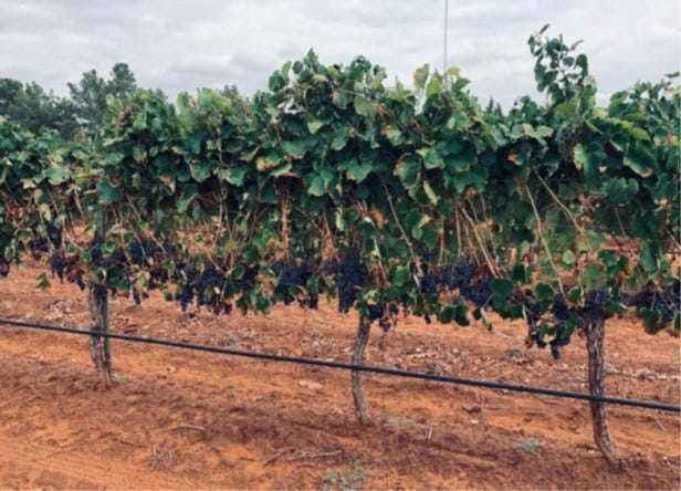 The Tempranillo varietal ready for harvest at Reddy Vineyards in Brownfield.