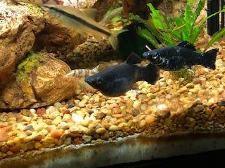 Two mollies swim in Susie Boese's fish tank in Iuka.
