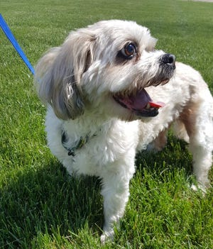 Daisy the Lhasa Apso is looking for a new home.