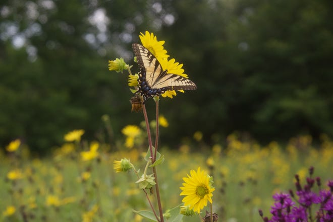 A swallowtail butterfly is shown at a prairie at the Steussy-Williams Conservation Easement in Henry County, an area that is not open to the public.