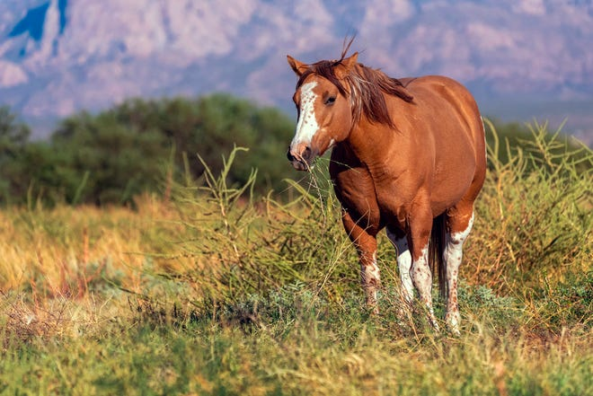This Oct. 7, 2020, photo provided by the Arizona Land and Water Trust, shows a horse grazing on the Sopori Creek and Farm in Amado. A portion of the farm was recently purchased by the Arizona Land and Water Trust, a nonprofit that wants to preserve it for it's ecological and agricultural values.